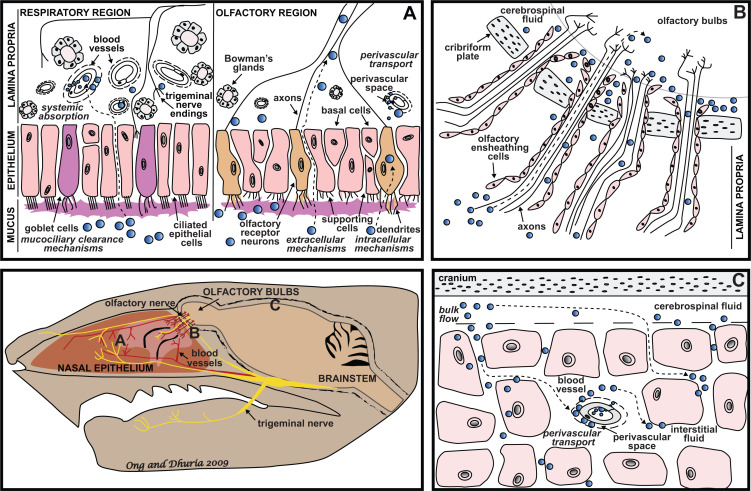 Intranasal delivery to the central nervous system