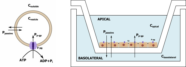 a critical view on in vitro analysis of p-glycoprotein  p-gp  transport kinetics